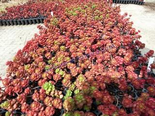 Sedum et toiture toiture vegetalisee toit vegetal toit vert toiture veget - Plante toiture vegetalisee ...